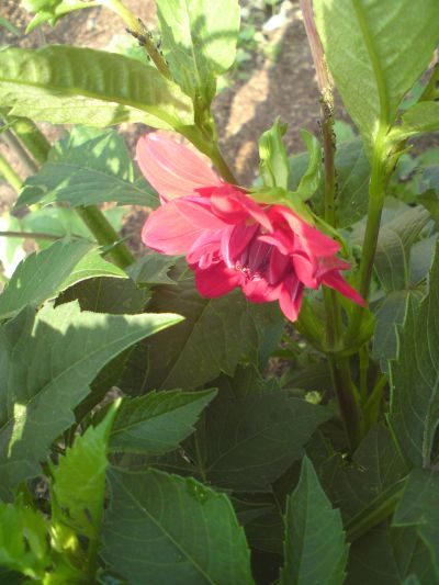 ... aber auch ein leuchtendes rosa-rot kann der Garten bieten.
