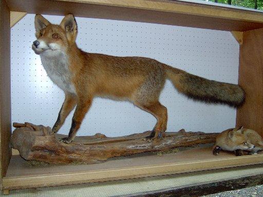 heimische Tiere – der Fuchs