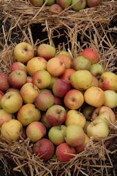 Äpfel auf dem Aplerbecker Apfelmarkt 2008