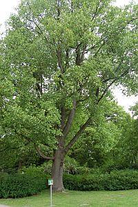 Foto zeigt Tulpenbaum