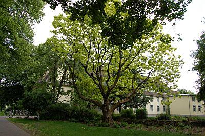 Foto zeigt Trompetenbaum