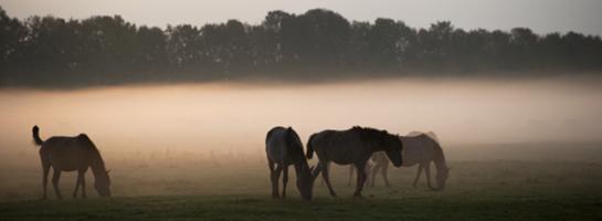 Das Bild zeigt Morgennebel im Merfelder Bruch: Die Dülmener Wildpferde