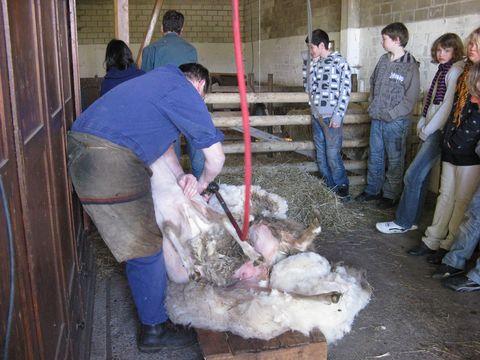 Schafschur live! Das hat man nicht alle Tage!